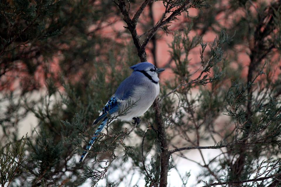 Blue Jay in Winter Brenda Rychlowski