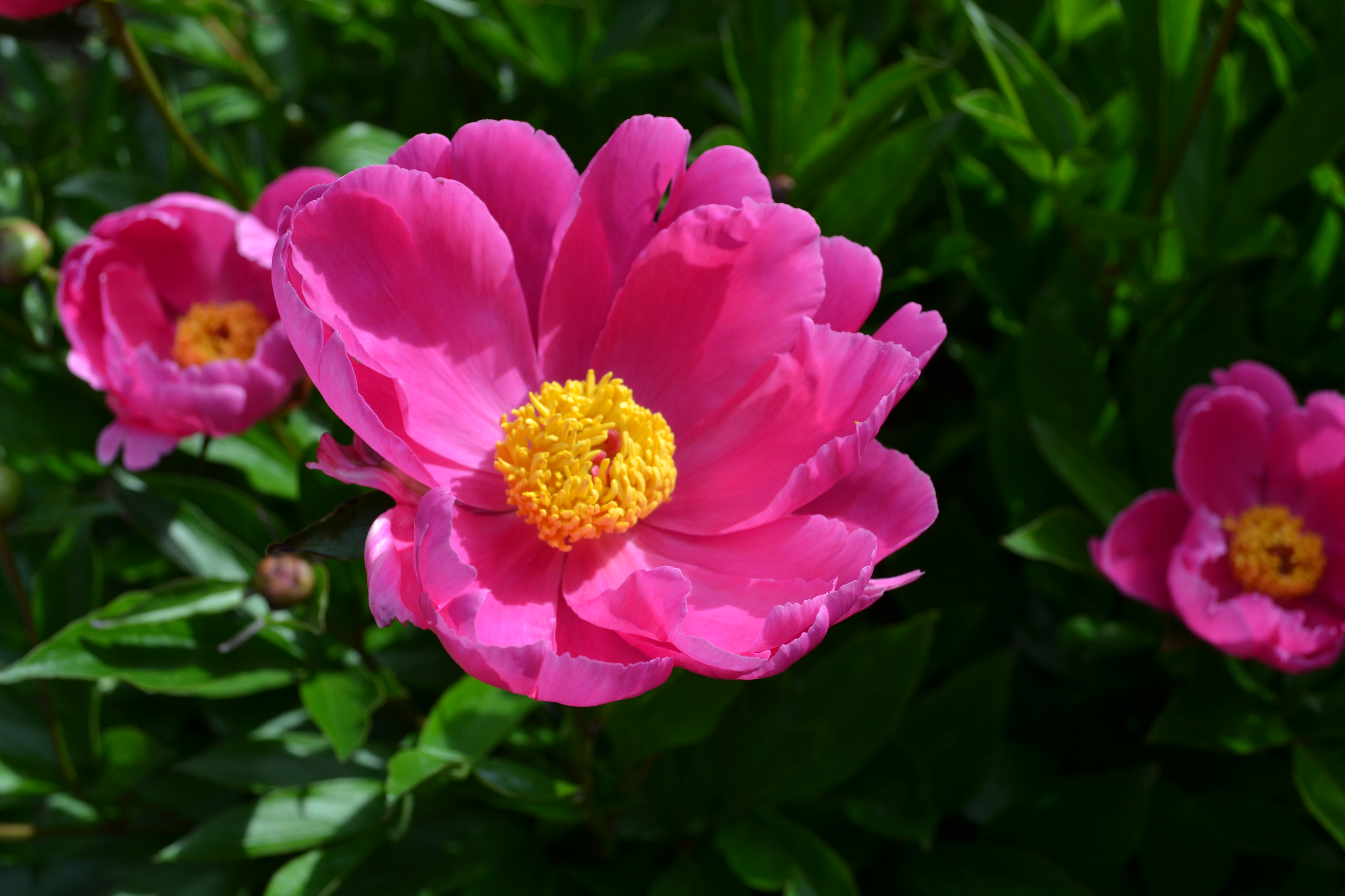 Fun facts about peonies frankie flowers grow eat live outdoors your garden expert - Growing peonies in the garden ...