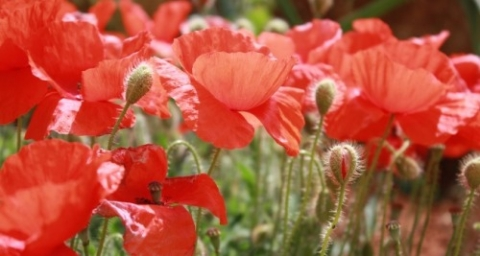 5 interesting facts about poppies frankie flowers grow eat the poppy campaign in canada was inspired by canadian colonel john mccraes famous poem in flanders fields and by american moina michael who pledged a year mightylinksfo