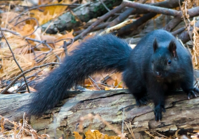 Eastern Grey Squirrel - Black Variety
