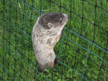 Got Groundhogs in Your Garden Here Are Some Tips To Help