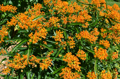 butterfly weed small