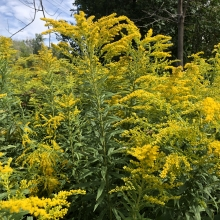 Golden Rod in Ontario