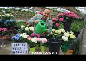 How to Water a Hydrangea