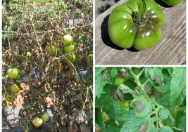 Late Blight on Tomatoes and Potatos
