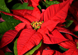 Ninth Day of Christmas- Poinsettia