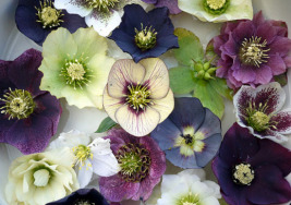 Fifth Day of Christmas- Christmas Rose (Hellebore)