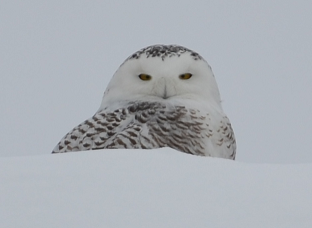 Owls in the GTA