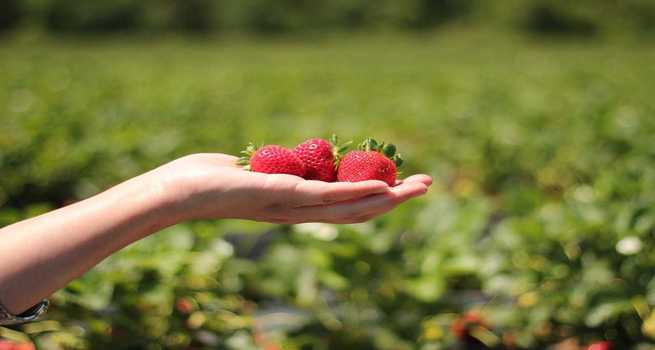 Where to Pick Your Own Strawberries in Ontario