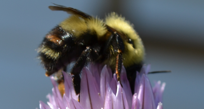 Helping the Bees in Your Garden