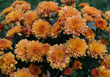 Frankie 39 s top 10 plants for fall frankie flowers for Low maintenance fall flowers