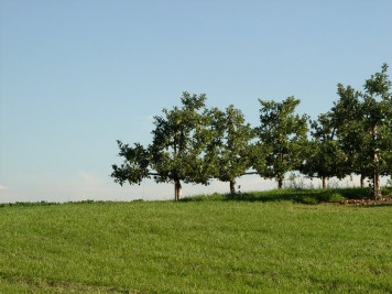 young apple tree freeimages